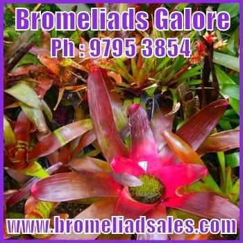 bromeliad Images